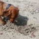 Dog Puppy Is Digging a Pit in the Sand