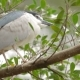 The Black-crowned Night Heron