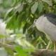 The Black-crowned Night Heron