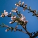 Almond Blossom Spring Background. - VideoHive Item for Sale