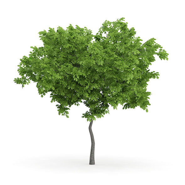 Wild Service Tree (Sorbus torminalis) 2.8m - 3DOcean Item for Sale