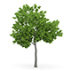 Wild Service Tree (Sorbus torminalis) 4.7m