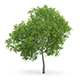 Wild Service Tree (Sorbus torminalis) 7.3m