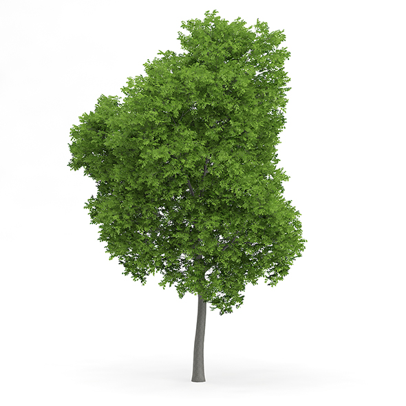 Wild Service Tree (Sorbus torminalis) 10m - 3DOcean Item for Sale