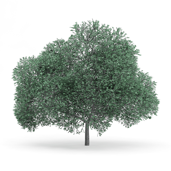 English Oak (Quercus robur) 11.7m - 3DOcean Item for Sale