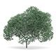 English Oak (Quercus robur) 9.4m
