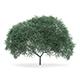 English Oak (Quercus robur) 10.7m