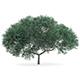 English Oak (Quercus robur) 10.2m