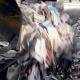 Car Unload Garbage Into Sorting Conveyor. Waste Sorting. - VideoHive Item for Sale