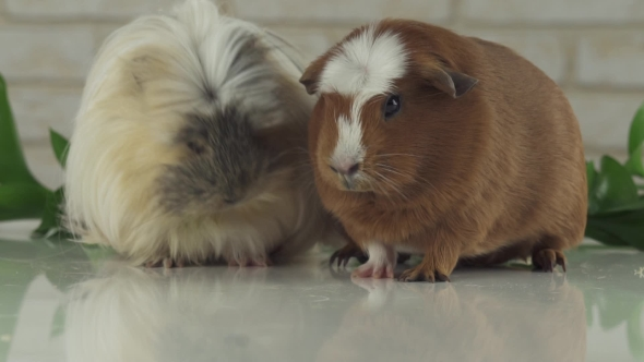 Guinea Pigs Eat