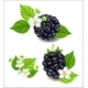 Composition of Ripe Blackberries and Flowers - GraphicRiver Item for Sale
