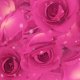 Roses Pink Background - VideoHive Item for Sale