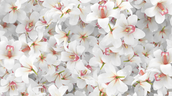 Flowers orchid white background by minimultik videohive play preview video mightylinksfo