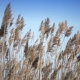 The Dry Cane Waves on a Background of the Blue Sky - VideoHive Item for Sale