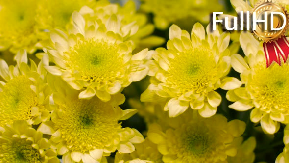 Yellow chrysanthemum flower by mishelvermishel videohive play preview video mightylinksfo
