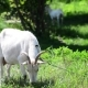 Adult White Goat Eating Grass