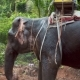 Thai Elephant Daily Bath in Jungle