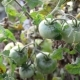 Green Unripe Tomatoes in Garden - VideoHive Item for Sale
