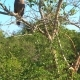 Eagle on Tree at Yala Park in Sri Lanka - VideoHive Item for Sale