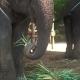 Big Thai Elephants Eating Plants in Farm