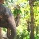 Huge Elephants Eating Plants in Forest