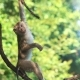 Baby Monkey Hanging on Liana in Lowland Rainforest
