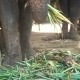 Big Elephants Eating Plants with Their Trunks