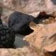 Three Black Truffle Laid on Oak Leaves