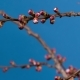 Blooming Branch of Apricot Tree - VideoHive Item for Sale