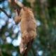 Monkey Hanging on Liana in Lowland