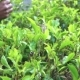 Female Hands Gathering Tea Leaves - VideoHive Item for Sale