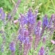 Sage Flowers in a Meadow with Bees - VideoHive Item for Sale