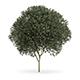 Sycamore Maple (Acer pseudoplatanus L.) 12m