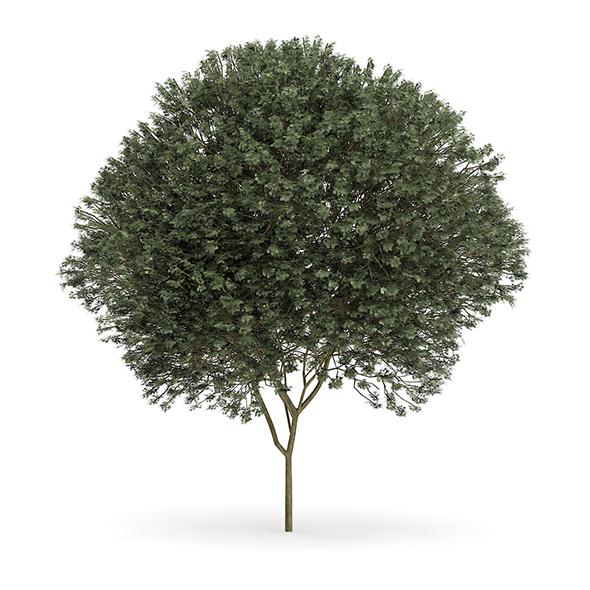 Sycamore Maple (Acer pseudoplatanus L.) 12m - 3DOcean Item for Sale