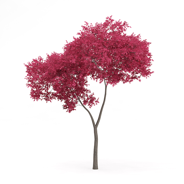 Palmate Maple (Acer palmatum) 4.8m - 3DOcean Item for Sale