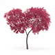 Palmate Maple (Acer palmatum) 5.5m