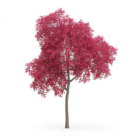 Palmate Maple (Acer palmatum) 11.8m - 3DOcean Item for Sale