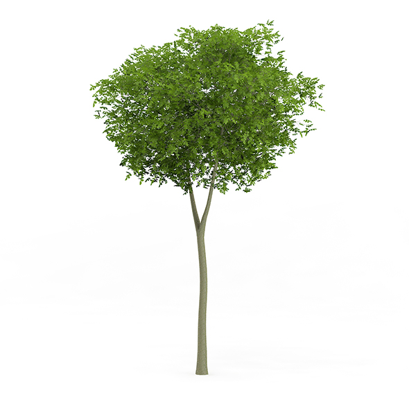 Common Beech (Fagus sylvatica) 7.7m - 3DOcean Item for Sale