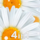 Flowers Chamomile (4-Pack) - VideoHive Item for Sale