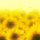 Flowers Sunflower Show 3 - VideoHive Item for Sale