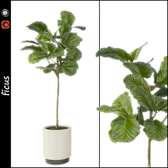 Ficus - 3DOcean Item for Sale