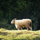 Sheep Walking Past In Evening Sunlight