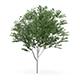 Common Ash (Fraxinus excelsior) 13m