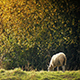 Sheep Grazes Near Tree In Golden Sunlight - VideoHive Item for Sale