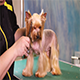 Yorkshire Terrier Dog Grooming at Pet Salon