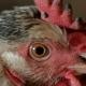 Chicken in the Henhouse