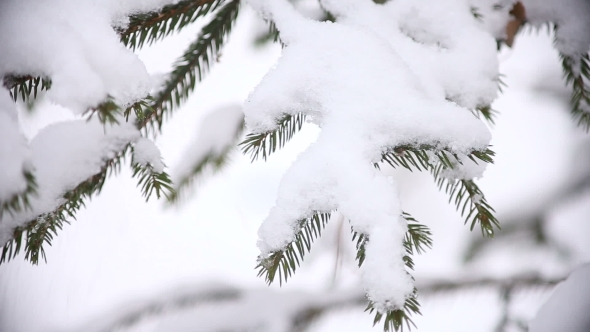 Christmas Tree Branches with Snow