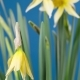 Spring Flower - Blooming Narcissus - VideoHive Item for Sale