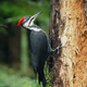 Woodpecker Pecking At Tree In The Forest - VideoHive Item for Sale