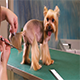 Haircut of Yorkshire Terrier Dog Grooming at Pet Salon